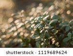 lingonberry foliage in sunset...   Shutterstock . vector #1119689624