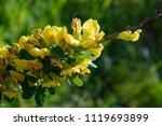 cytisus scoparius  the common... | Shutterstock . vector #1119693899