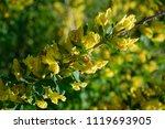 cytisus scoparius  the common... | Shutterstock . vector #1119693905