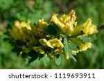cytisus scoparius  the common... | Shutterstock . vector #1119693911