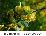 cytisus scoparius  the common... | Shutterstock . vector #1119693929