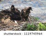 Bald Headed Eagle Babies ...