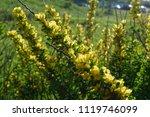 cytisus scoparius  the common... | Shutterstock . vector #1119746099