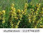 cytisus scoparius  the common... | Shutterstock . vector #1119746105