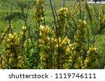 cytisus scoparius  the common... | Shutterstock . vector #1119746111