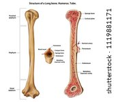 layer of a long bone. humerus.... | Shutterstock .eps vector #1119881171