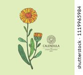 calendula  calendula plant ... | Shutterstock .eps vector #1119965984