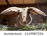 Stock photo pet rabbit funny with the ears of the beast 1119987254