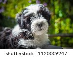 Small photo of white funny Tibetan Terrier dog puppy is sitting on nature