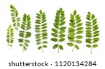 floral acacia leaves on white... | Shutterstock . vector #1120134284