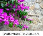 purple bougainvillea flower on... | Shutterstock . vector #1120363271