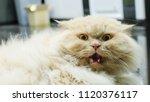 Persian Cat Threaten