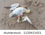 dead northern gannet trapped in ... | Shutterstock . vector #1120411421