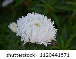 autumn flowers. a flower. white ... | Shutterstock . vector #1120441571