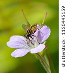 Small photo of Flower fly (Syrphidae) gathering nectar from a meadow flower