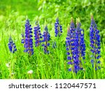 flowers of  large leaved lupine ... | Shutterstock . vector #1120447571