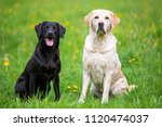 two labradors sitting in a... | Shutterstock . vector #1120474037