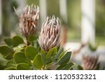 exotic flowers in botanical... | Shutterstock . vector #1120532321