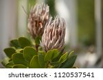 exotic flowers in botanical... | Shutterstock . vector #1120537541