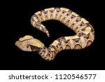 bitis gabonica rhinoceros is a... | Shutterstock . vector #1120546577