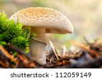 Mushroom, a False Death Cap or Citron Amanita in the forest - Amanita Citrina - stock photo