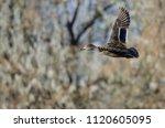 mallard duck flying past the... | Shutterstock . vector #1120605095