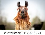 brown and white llama standing... | Shutterstock . vector #1120621721