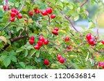Dog Rose Fruit. Healing...