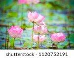 Lotus Flower Plant
