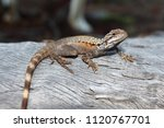 australian crested dragon on... | Shutterstock . vector #1120767701