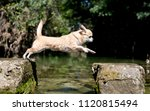 purebred chihuahua jumping in...   Shutterstock . vector #1120815494