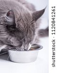 a gray cat  breed maine coon ... | Shutterstock . vector #1120841261