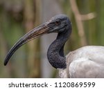 The african sacred ibis ...