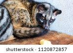 civet or viverra  an animal... | Shutterstock . vector #1120872857