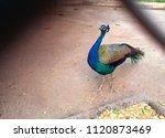 beautiful peacock in chattbir... | Shutterstock . vector #1120873469