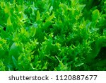 close up endive lettuce farm in ... | Shutterstock . vector #1120887677