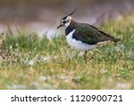 a lapwing in the biotop of... | Shutterstock . vector #1120900721