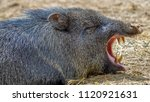 a tapir is a large  herbivorous ... | Shutterstock . vector #1120921631