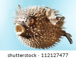 Taxidermal Inflated Puffer Fis...