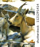 Small photo of Dorcas Gazelle with baby in zoo. The dorcas gazelle is found in North Africa and the Middle East