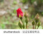 red rose petals with rain drops ... | Shutterstock . vector #1121301911