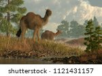A Pair Of Shaggy Camels Stroll...