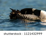 common loon swimming on lac... | Shutterstock . vector #1121432999