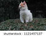cat sitting on grass.it is... | Shutterstock . vector #1121457137