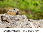 alpine marmot sitting on a rock ... | Shutterstock . vector #1121527724