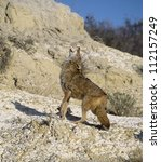 Small photo of Howling coyote. Photographed in the Badlands, North Dakota
