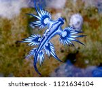 Blue Dragon  Glaucus Atlanticu...