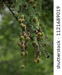 Small photo of larch cones and branches in front of blurred green background, green and brown larch cones on the branches