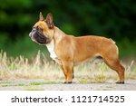 french bulldog outdoor | Shutterstock . vector #1121714525