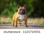 french bulldog outdoor | Shutterstock . vector #1121714531